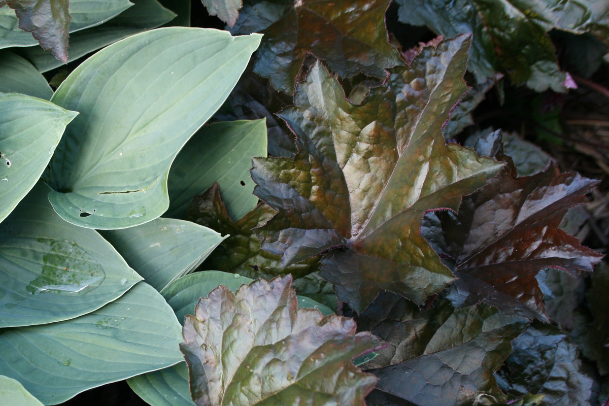 hosta heuchera 1200×800