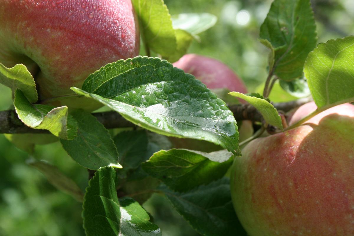 äpple 1200×800